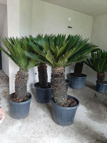 Palmieri,fenix