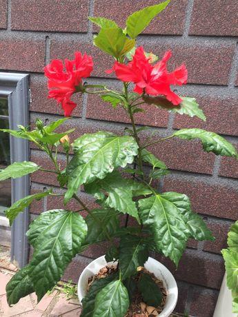 Гибискус цветущий махровый
