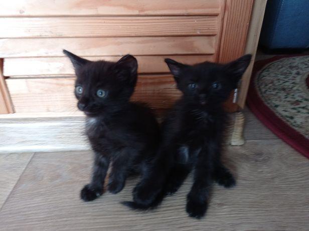 Котята. Полтора месяца. Кот и кошечка.