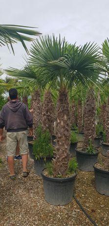 Vindem palmieri de mai multe specii