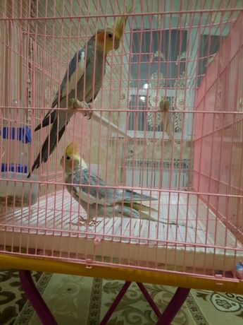 Корелла попугай 2 шт