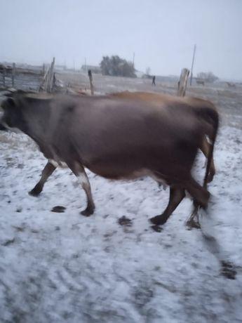 Продам коровы 4 голов  Молочной породы