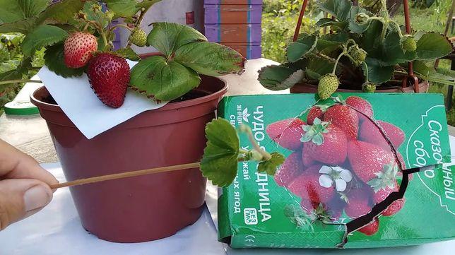 """Регулярный урожай """"Сказочный сбор"""" Ягодница для выращивания клубники"""