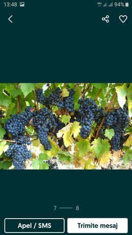 Struguri merlot de vin de calitate din vrancea producătorii agricoli