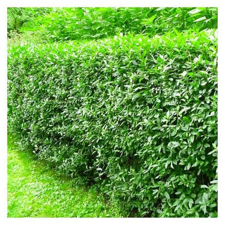 Vand lemn cainesc, ligustrum vulgare, gard viu mereu verde