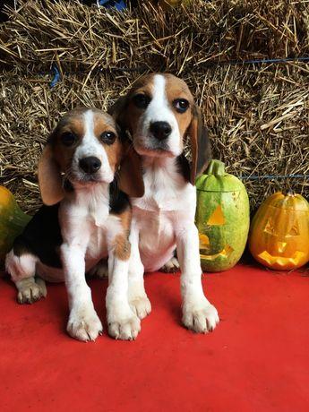 Pui Beagle tricolor