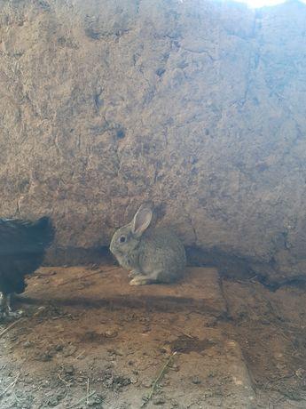 Кролик (қоян сатылады)