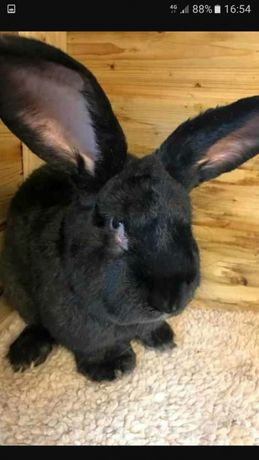 Van iepuri din rasa uriaș negru 13 -14 kg