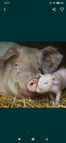 Продам свинку после первого опороса