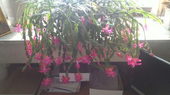 Огромен красив кактус
