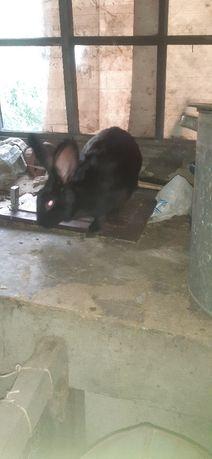 Продаются кролики порода Бабочки