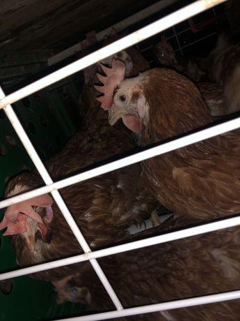 Găini ouătoare