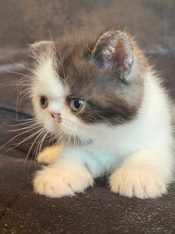 Котенок экзот, красавец.