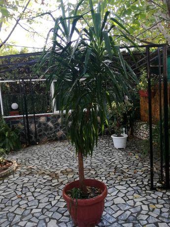 Саксийно растение Юка