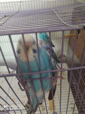 Волнистые попугайчики домашнего разведения срочно срочно