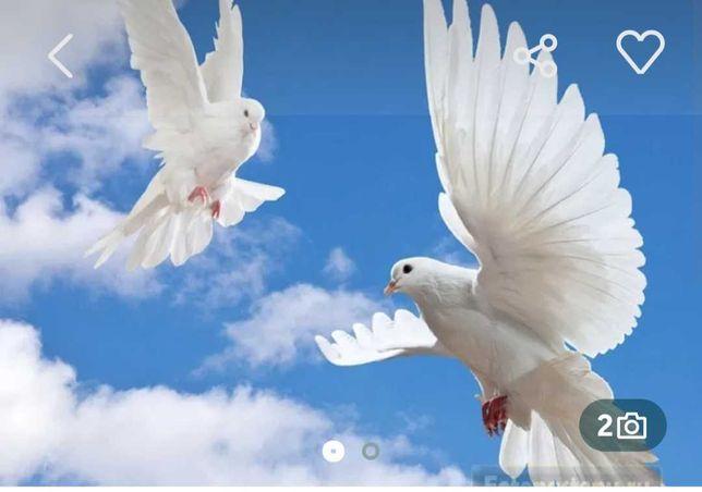 Голуби белые голуби