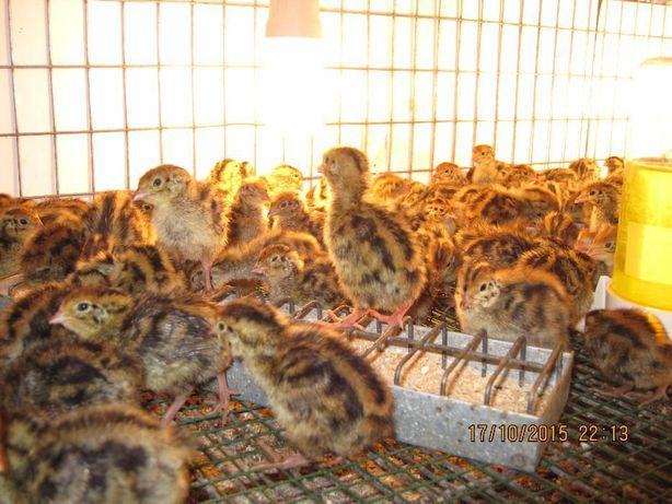 Pui de prepelita de 21 zile rasa oua