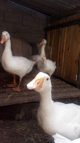 Продам трехмесячных гусей.