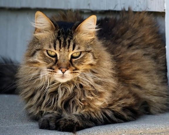Котята Британцы табби (Сибирская кошка)