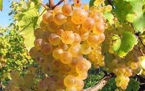 Struguri albi rose rosii must vin