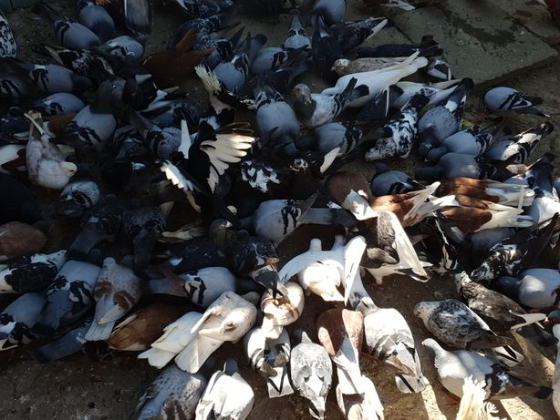 Porumbei de vanzare - porumbei voiajori