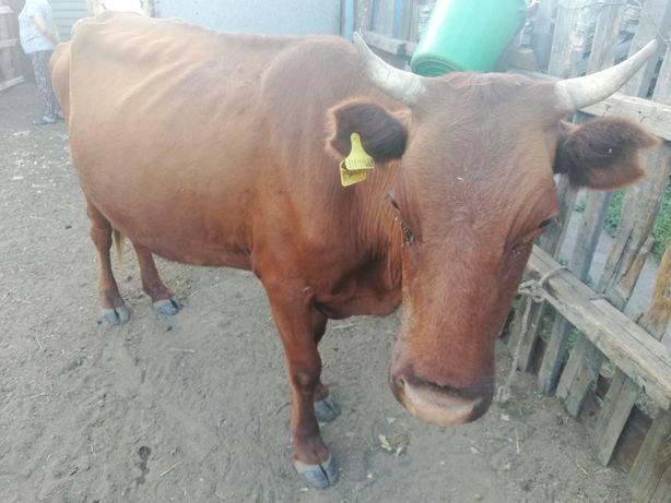 Сиыр сатылады,Корова продаётся