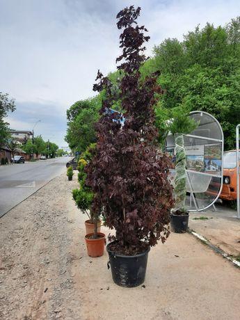 Plante ornamentale bună calitate