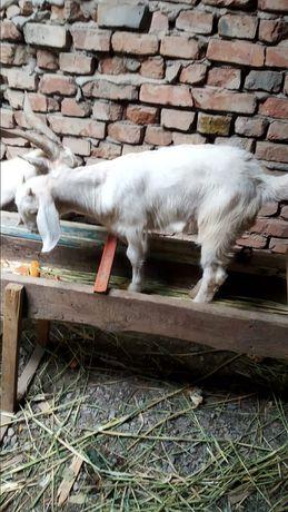 Коза с козлёноком ( парода) Коза-Заинская, козлик-заинская с биталом
