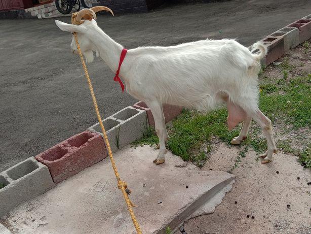 Продам козу в хорошие руки..
