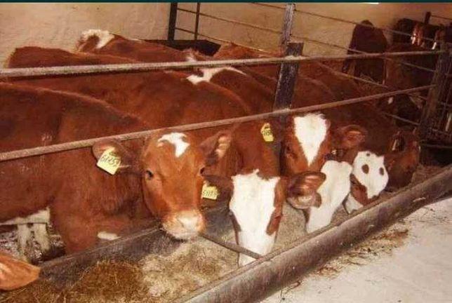 Телята бычки от 1.мес до 15.мес есть доставка
