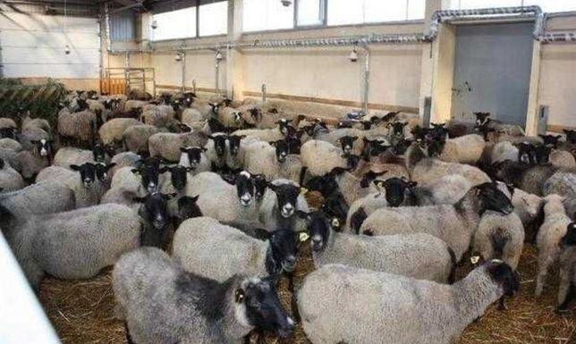 Бараны овцы ягнята Чистокровные племенные гиссарские едильбай рокбновс