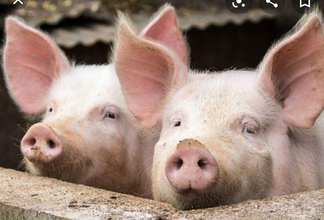 Продам свиней хряков