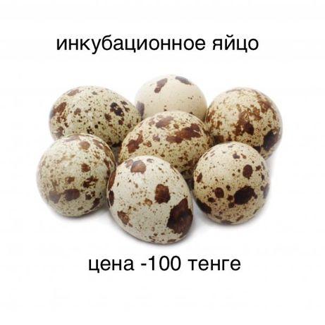 Продам перепелиные яица инкубационное