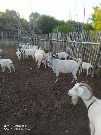 Продам коз, Козлов, котных коз