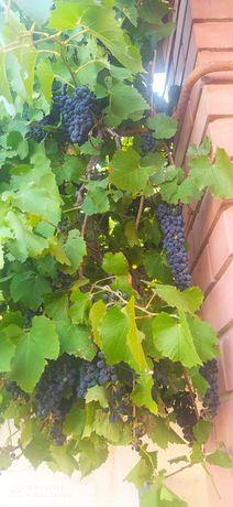 Чёрный виноград срочно