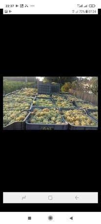 Vând struguri de vin diferite soiuri feteasca rezling ceasla