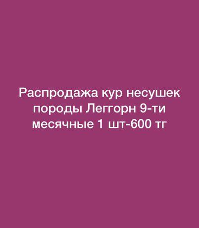 Распродажа Кур  несушек породы Леггорн 1шт-600 тг
