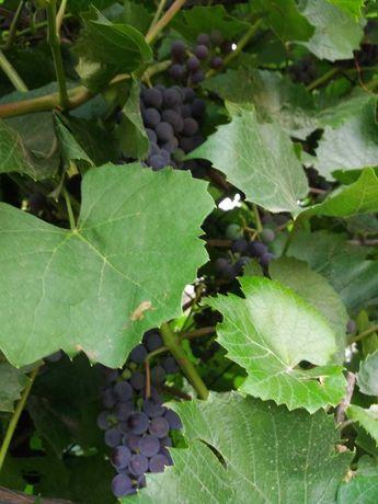 виноград домашний Изабелла