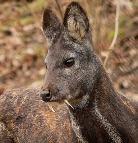 Духи Nepal Tonkin deer musk от Abdul Samad al Qurashi мускус кабарги