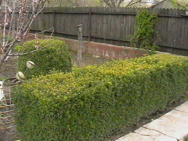 Buxus Gard Viu
