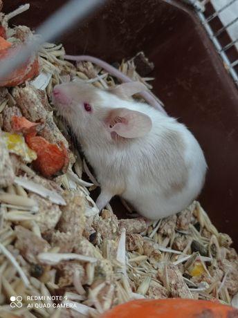 Сатиновая мышка красивого окраса