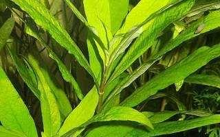 аквариумное растение лимонник