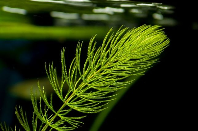 Роголистник растение