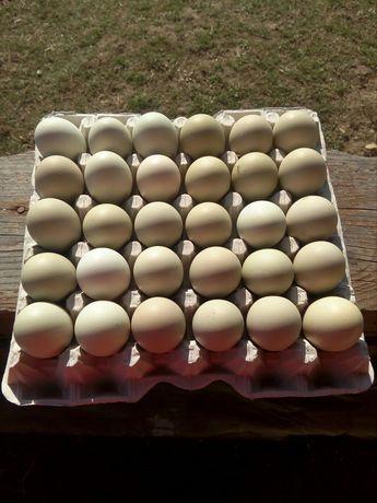 Oua verzi de la găini ameraucana