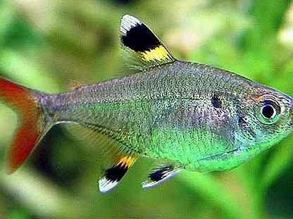 Рыбка Тетра пристелла (Pristella maxillaries)