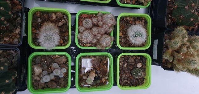 Cactusi de vanzare