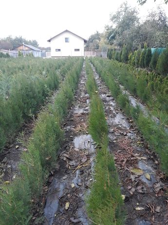 Gard viu permanent verde-tuia