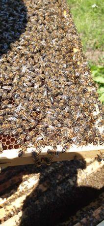Vand familii de albine 50 lei/rama (10 rame=500 lei)