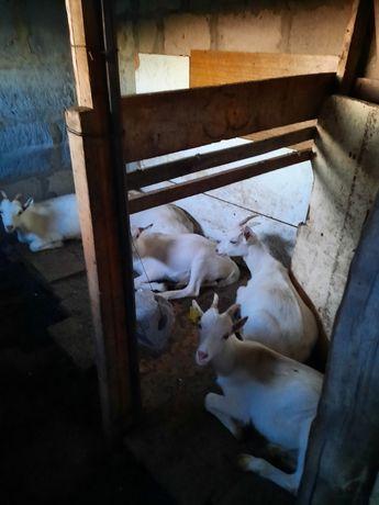 Продам козлят 4 мес дойных пород