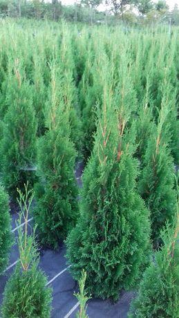 Thuja (tuia) Smaragd, plante ornamentale